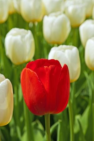 Tulipas brancas com uma vermelha que est