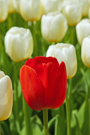 White tulips with one red standing out. Standard-Bild