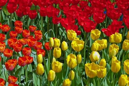 Yellow and red tulips in spring garden. Keukenhof. Lisse. photo