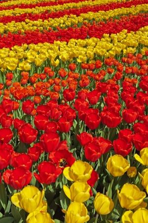 lisse: Rode en gele tulpen in het voorjaar tuin. Keukenhof. Lisse. Stockfoto