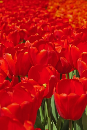 Close-up of red tulips in spring garden. Keukenhof. Lisse. photo