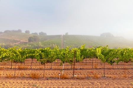 vi�edo: Vi?edo de bodega en la niebla al amanecer. Napa Valley, California, EE.UU..