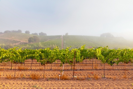 Vineyard of winery in the mist at dawn. Napa Valley, California, USA.