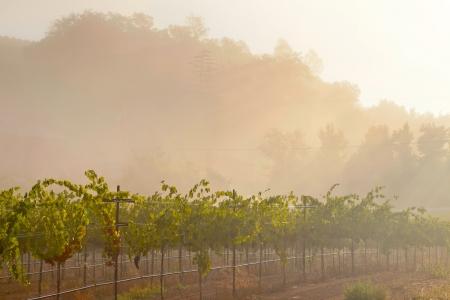 napa valley: Vineyard of winery in the mist at dawn. Napa Valley, California, USA.