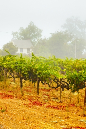 Vineyard of winery in the mist at dawn. Napa Valley, California, USA. photo