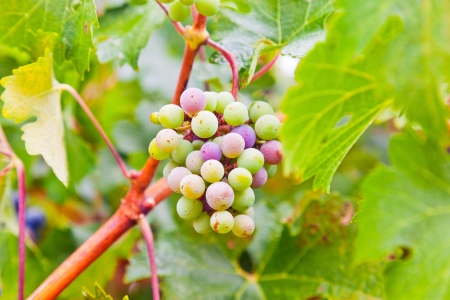 sauternes: Close-up of white grapes in vineyard. Napa Valley. California. USA.