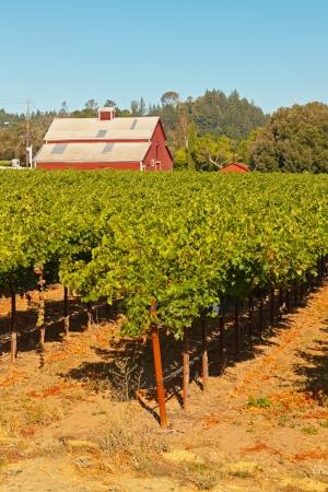 Vineyard with red barn and blue sky. Napa Valley. California. USA. photo