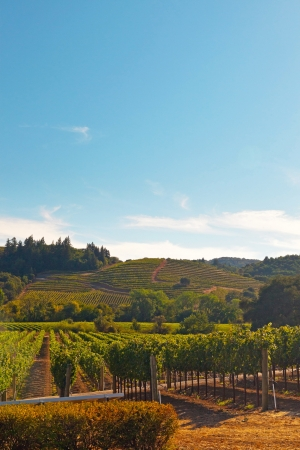 Vineyard with hills in the background. Blue sky. Napa Valley. California. USA.