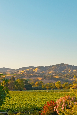 sonoma: Vineyard with hills in the background. Blue sky. Napa Valley. California. USA.