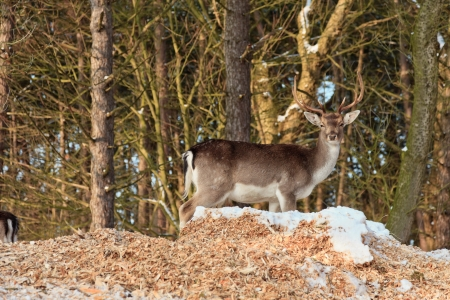 Deer in winter forest. photo