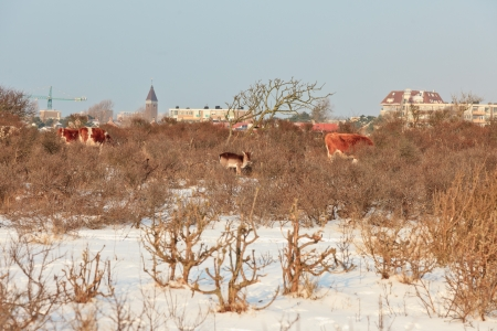 Winter dunes with deer and cows and skyline of Zandvoort in the background. The Netherlands. photo