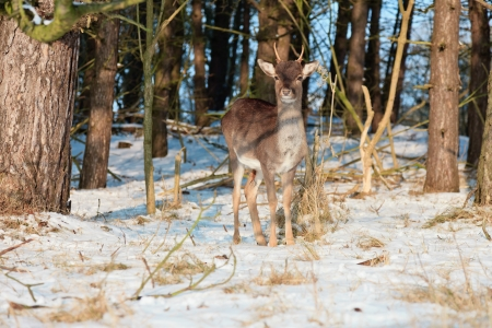 capreolus: Young deer in winter forest. Stock Photo