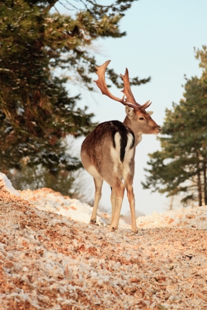 Winter forest with deer. Blue sky. photo