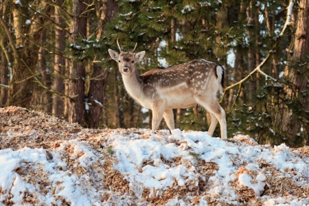 capreolus: Young deer in snow winter forest.