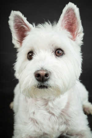 White Westhighland westie terrier isolated on black background photo