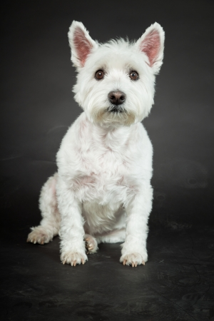 White Westhighland westie terrier isolated on black background Stock Photo - 20219199