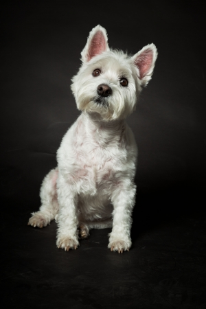 White Westhighland westie terrier isolated on black background Stock Photo - 20219216