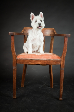 White Westhighland westie terrier on chair isolated on black background Stock Photo - 20219602