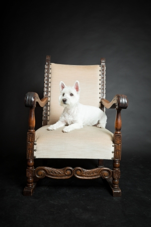 cute westie: White Westhighland westie terrier on chair isolated on black background