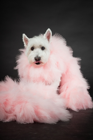 White Westhighland westie terrier with pink boa isolated on black background photo