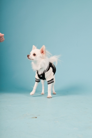Studio portrait of cute white chihuahua puppy wearing baseball jacket isolated on light blue background photo