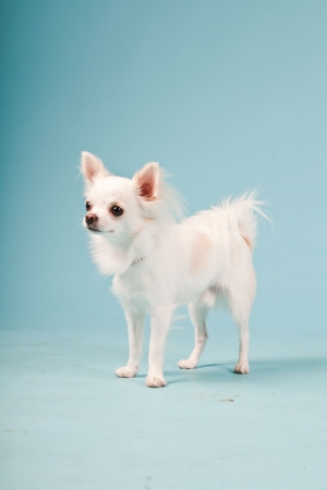Studio portrait of cute white chihuahua puppy isolated on light blue background. photo