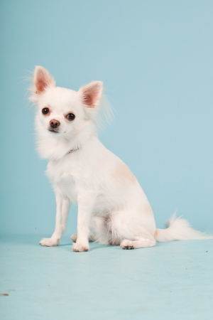 long hair chihuahua: Studio portrait of cute white chihuahua puppy isolated on light blue background. Stock Photo