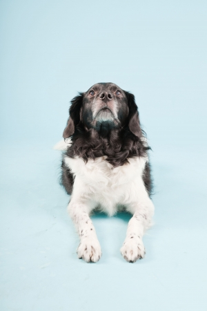 Studio portrait of Stabyhoun or Frisian Pointing Dog isolated on light blue background Stock Photo - 20226219