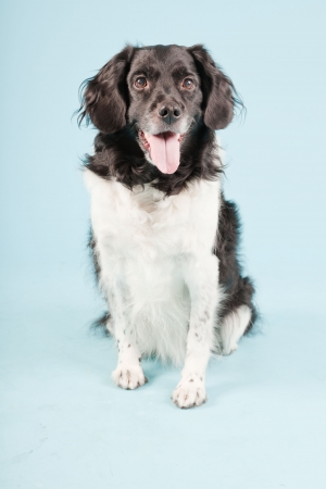 Studio portrait of Stabyhoun or Frisian Pointing Dog isolated on light blue background Stock Photo - 20226237