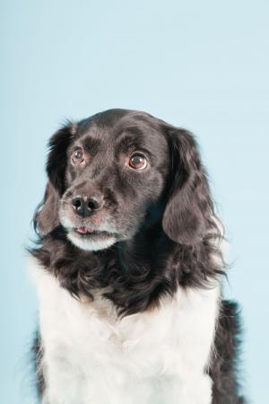 Studio portrait of Stabyhoun or Frisian Pointing Dog isolated on light blue background Stock Photo - 20226403