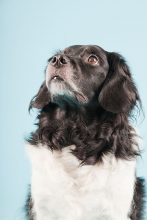Studio portrait of Stabyhoun or Frisian Pointing Dog isolated on light blue background Stock Photo - 20226444