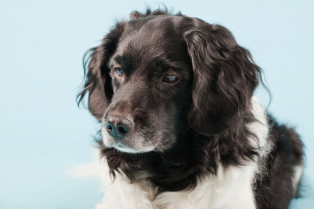 Studio portrait of Stabyhoun or Frisian Pointing Dog isolated on light blue background Stock Photo - 20240231