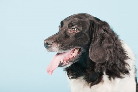 Studio portrait of Stabyhoun or Frisian Pointing Dog isolated on light blue background Stock Photo - 20226408