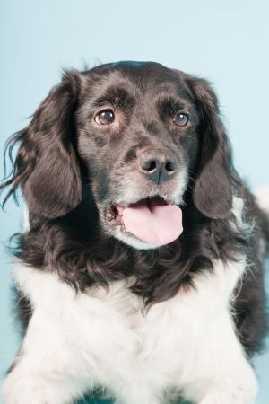 Studio portrait of Stabyhoun or Frisian Pointing Dog isolated on light blue background Stock Photo - 20226455