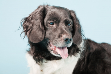 Studio portrait of Stabyhoun or Frisian Pointing Dog isolated on light blue background Stock Photo - 20226481