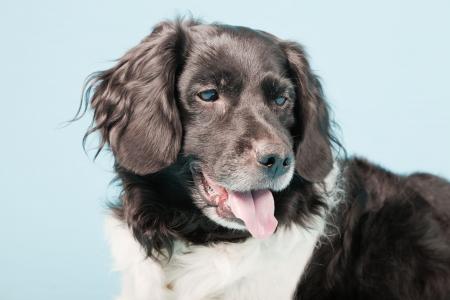 Studio portrait of Stabyhoun or Frisian Pointing Dog isolated on light blue background Stock Photo - 20226481