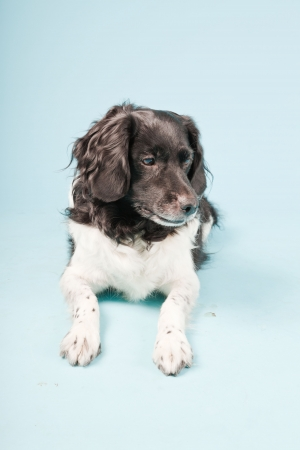 Studio portrait of Stabyhoun or Frisian Pointing Dog isolated on light blue background Stock Photo - 20226327