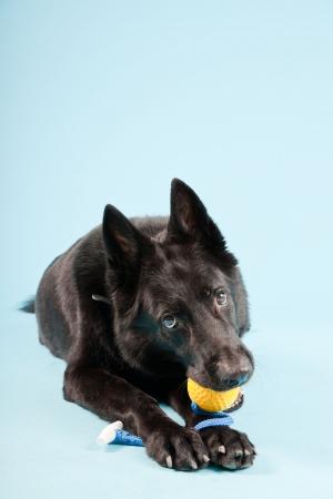 perro policia: Negro shepard alem�n perro aislado en fondo azul claro Studio foto