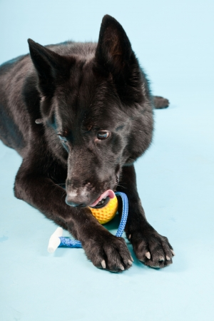k9: Black german shepard dog with yellow toy ball isolated on light blue background  Studio shot