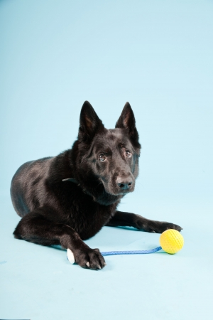 german shepard: Black german shepard dog with yellow toy ball isolated on light blue background  Studio shot