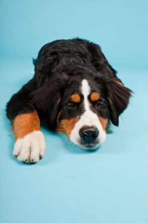 berner: Berner sennen dog isolated on light blue background. Studio shot. Puppy.