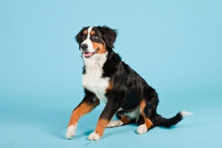 sennen: Berner sennen dog isolated on light blue background. Studio shot. Puppy.