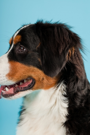 berner: Berner sennen dog isolated on light blue background  Studio shot  Puppy