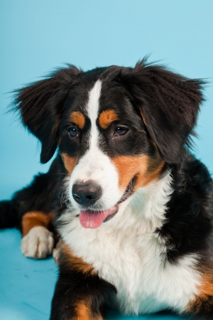 sennen: Berner sennen dog isolated on light blue background  Studio shot  Puppy