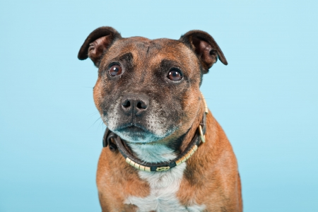Brown old staffordshire isolated on light blue background  Studio shot