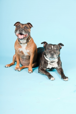 pit bull: Two old staffordshires isolated on light blue background  Studio shot
