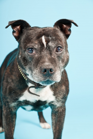 Black old staffordshire dog isolated on light blue background  Studio shot  photo