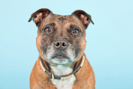 bull terrier: Brown old staffordshire isolated on light blue background  Studio shot