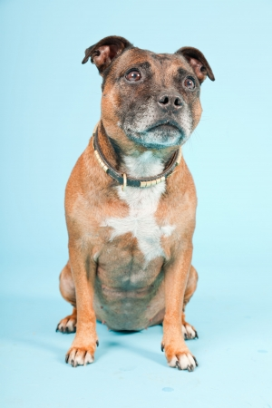 pure blooded: Brown old staffordshire isolated on light blue background  Studio shot