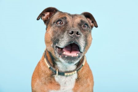 gardian: Brown old staffordshire isolated on light blue background  Studio shot